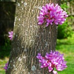 Flowers grow right from the bark as well as the branches.