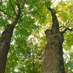 This photo is looking upward showing the tree's two main leaders.