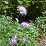 butterfly-blue-pincushion-flower