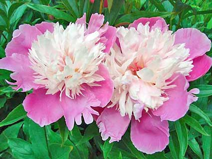 Bowl-of-Beauty-Peony-bloomingbulb