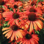 Julia-Coneflower-dutchbulbs