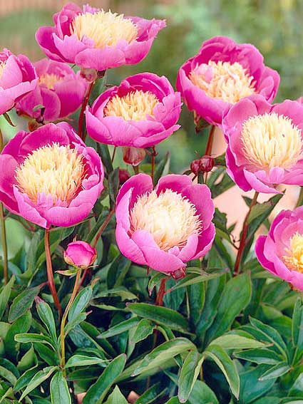 Peony_Bowl-of-Beauty-bluestoneperennials