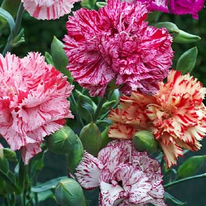 carnation_giant_chabaud_picotee fantsy mix swallowtailgardenseeds