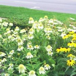 coconut-lime-coneflower-2