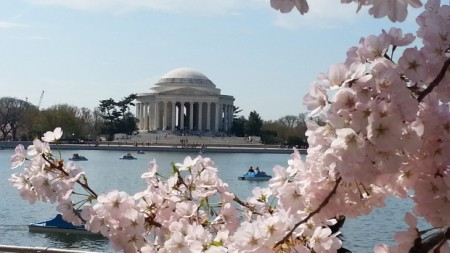 jefferson memorial cherry blossoms wash cbslocal com