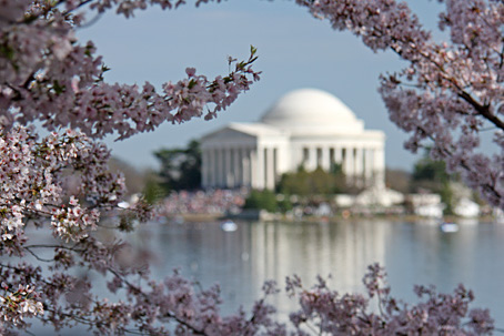 jefferson memorial cherry blossoms wash post