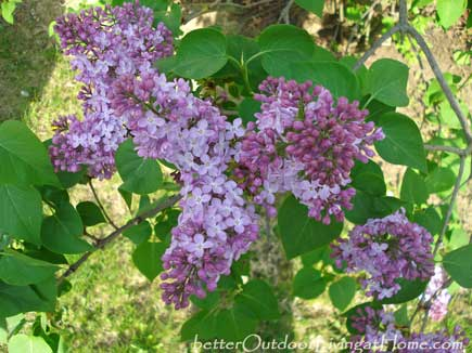 old-fashion-lilacs