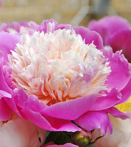 peony_bowl_of_beauty_johnscheepers