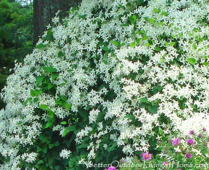 Sweet autumn clematis late summer flowering perennial a sweet autumn clematis flower mightylinksfo