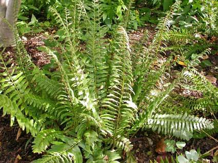 Christmas-fern-missouri botanical gardens