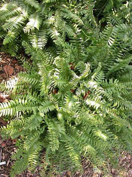 Christmas-fern missouri botanical gardens