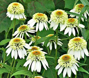 Coconut-Lime-white-flower-farm