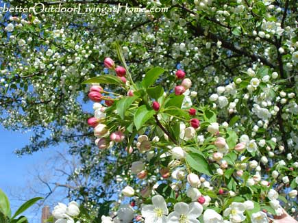 apple-blossoms