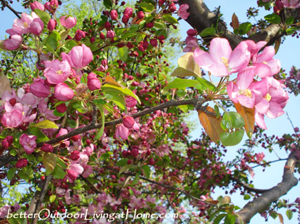 crabapple-blossoms