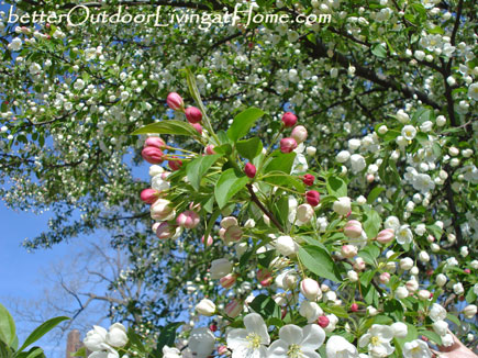 crabapple-in-bloom