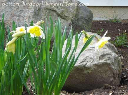 daffodil-bunch