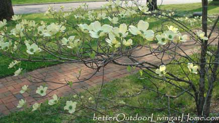 dogwood-in-bloom