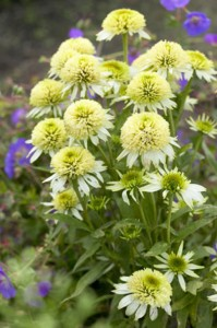 echinacea-meringue , double-flowered coneflowers