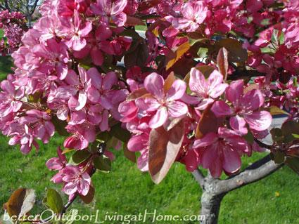 flowering-crabapple