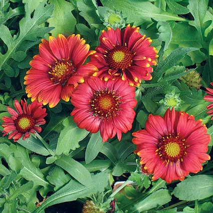 gaillardia-arizona-red-shades highcounrtygardens