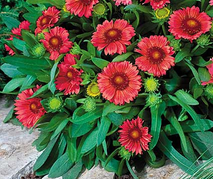 gaillardia_arizona red shades parkseed