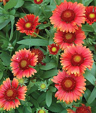gaillardia grandiflora arizona red shades burpee