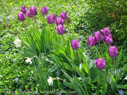 tulip-daffodil-mix